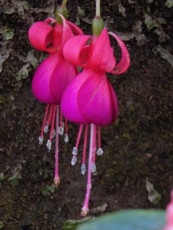 Rose Gardens Bell Shaped Flower In Garden Munnar
