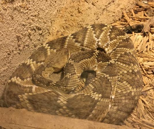 Rattlers & Reptiles: Rattler