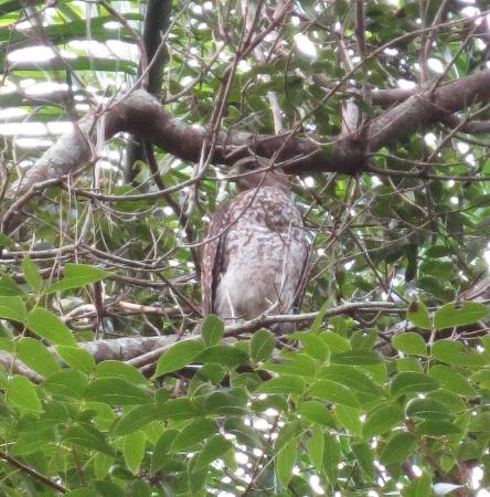 Collier County Museum : We saw a Red-shouldered hawk on the museum grounds.
