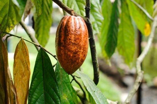 La Garita, Costa Rica: Meet the CACAO TREE and feast on it´s fruit.