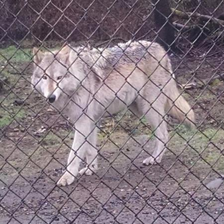 Wolf Haven International: Beautiful face