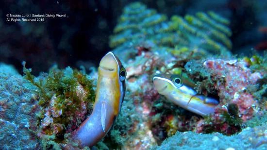 Santana Dive Center Phuket: Blenny