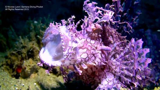 Santana Dive Center Phuket: Frogfish