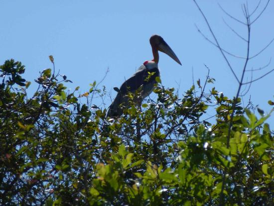 Prek Toal Bird Sanctuary: The unique Greater Adjutant. Only some left in the world.