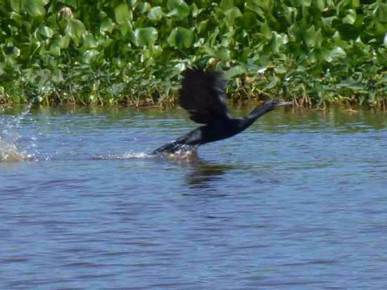 Prek Toal Bird Sanctuary: The Indian Cormorant taking off