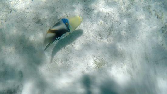 Raiatea, Polinesia francese: Le baliste picasso