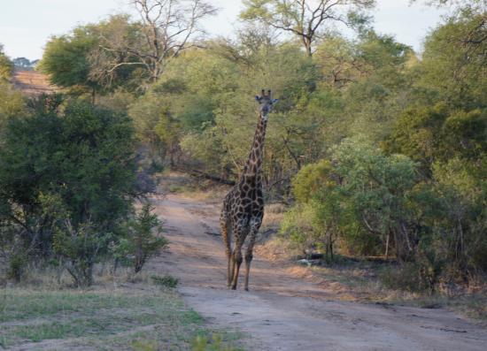 Arathusa Safari Lodge: giraffe strolling