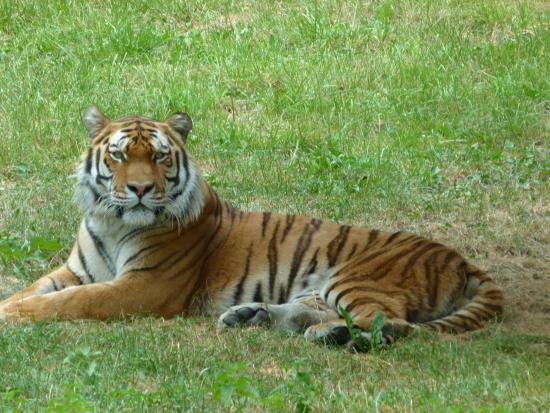 Ours polaire picture of peaugres safari parc ardeche - Tigre polaire ...