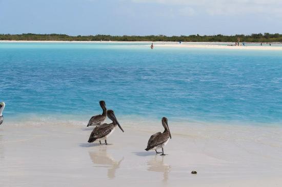 Playa Paraiso: pelicans