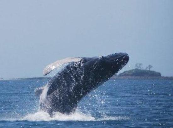 Contadora Island, Panama: A Humpback calf practicing his breaching in the Pearl Islands, Panama