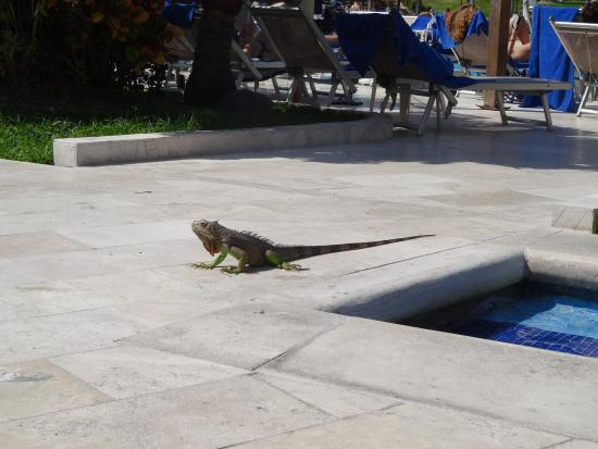 Canto Del Sol Plaza Vallarta: Iguanas that roam the grounds