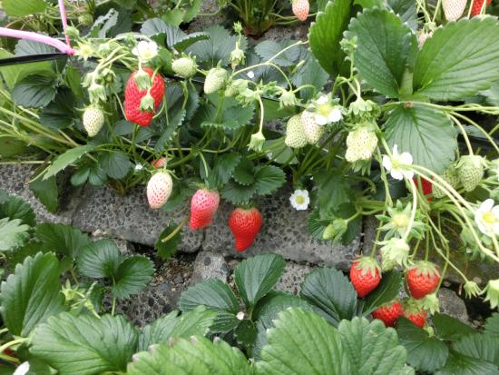 Ishigaki Strawberries