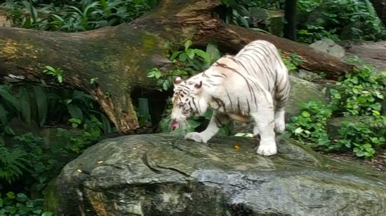 white tiger during feeding time picture of singapore zoo