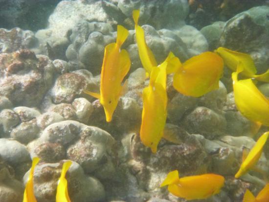 Snorkeling at kealakekua bay captain cook monument for Tropic fish hawaii