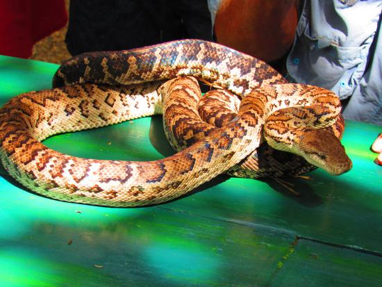 Bayahíbe, República Dominicana: A dominican boa - rescued and available for handling if you wish - (not poisonous to humans!)