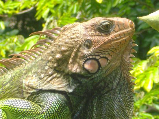La Escuela Del Sol: iguana at the school