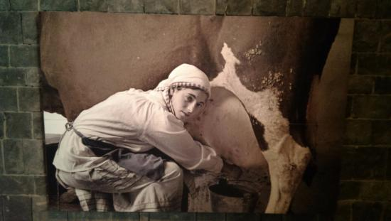 Qiryat Shemona, Izrael: milking the cows