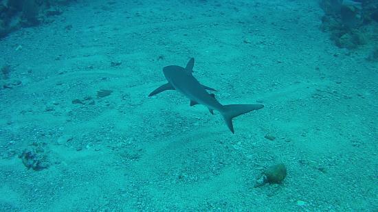Simpson Bay, St Marteen/St. Martin: Reef Shark - St. Maarten, with Dive Adventures