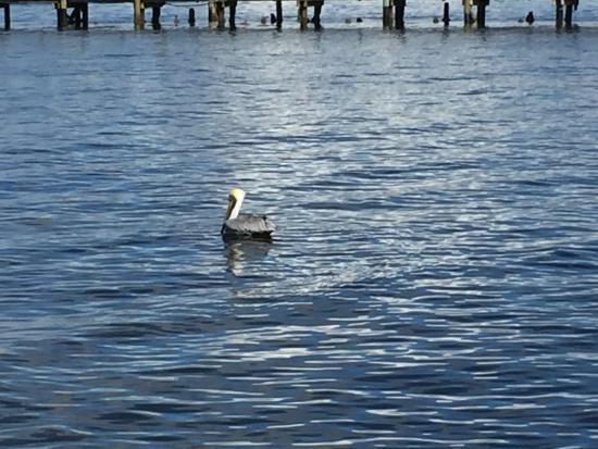 Bokeelia Tarpon Inn: Wandering the pier, watching the pelicans, Bokeelia, Florida