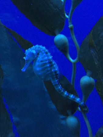 Cavalluccio marino foto di acquario di genova genova for Immagini cavalluccio marino