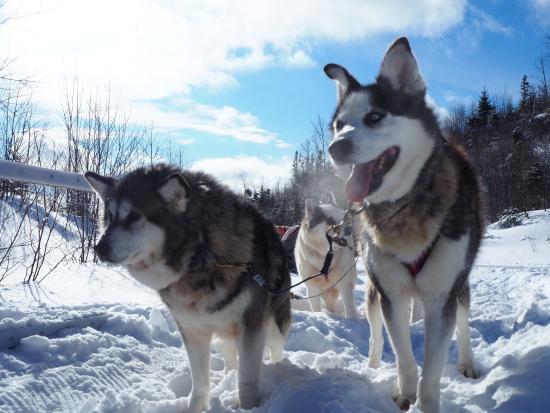 OrganisAction - Quebec Off The Beaten Track: chiens de traineau 2