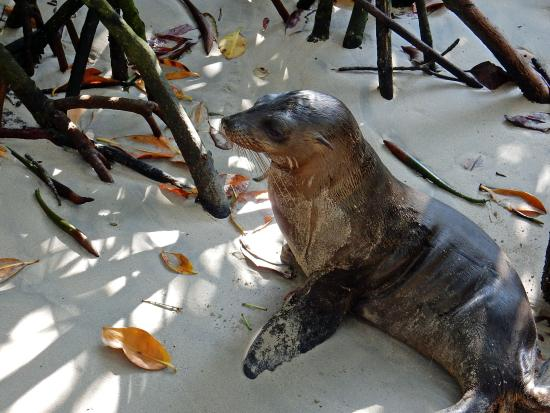 Puerto Villamil, Ekvador: zeeleeuw