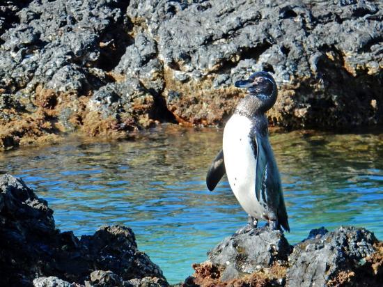 Puerto Villamil, Ecuador: galapagos pinguin