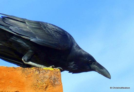 Arivaca, AZ: Resident ravens @ Buenos Aires