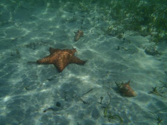 Hotel on the Cay: Starfish and conch near the beach
