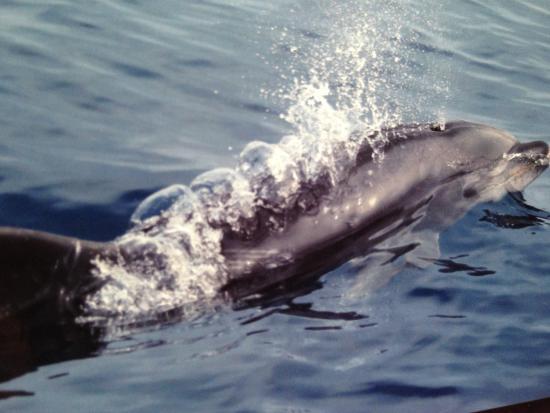 Dana Point, Californien: Dolphins everywhere!