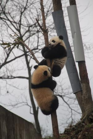 Wenchuan County, China: cubs fooling around.