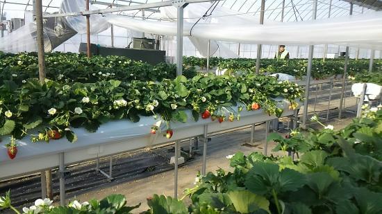Tateyama Strawberry Picking Center : KIMG0926_large.jpg