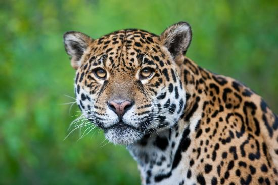 jaguar costa rica picture of bushmaster adventures costa rica rh tripadvisor com
