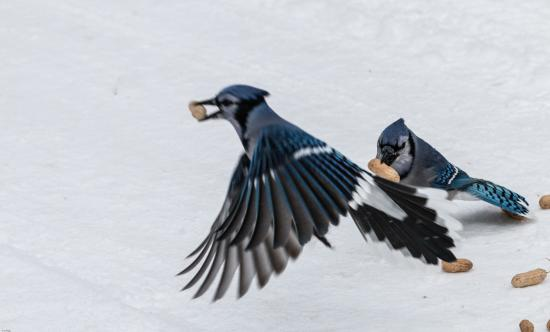Colas de Birding: ¿Por qué usted debe amar Blue Jays en sus alimentadores