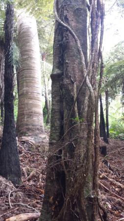 เกาะไวเฮเก, นิวซีแลนด์: Native Rata vines