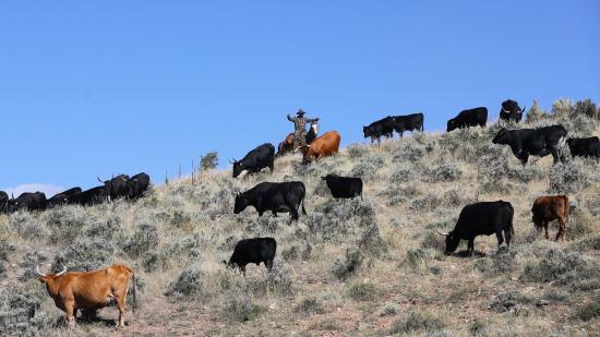 Mc Coy, CO: Cattle Drive!