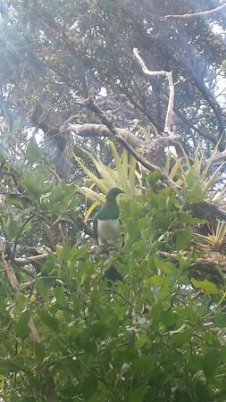 Waiheke Island, New Zealand: Our native Kereru or Wood Pidgeon