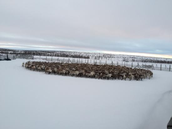 Thon Hotel Kautokeino : Innsamling av reinsdyr