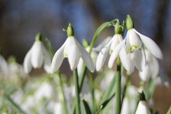 Ticknall, UK: February snowdrops