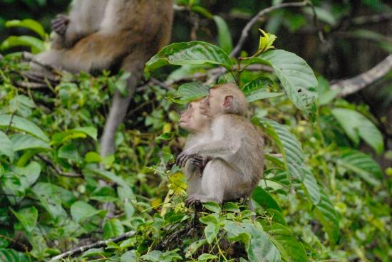Sukau Rainforest Lodge: Baby long tail macaques