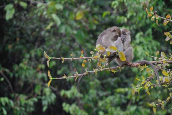 Sukau Rainforest Lodge: Long tail macaques sitting on a branch