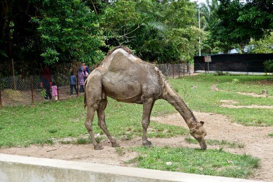 please treat this camel picture of pd ostrich show farm port rh tripadvisor co uk