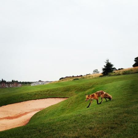 Stratford, Canadá: Fox out for a stroll during our round at Fox Meadow Golf Club