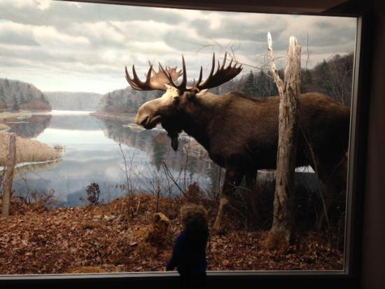 Nova Scotia Museum of Natural History : We always have to visit the moose.