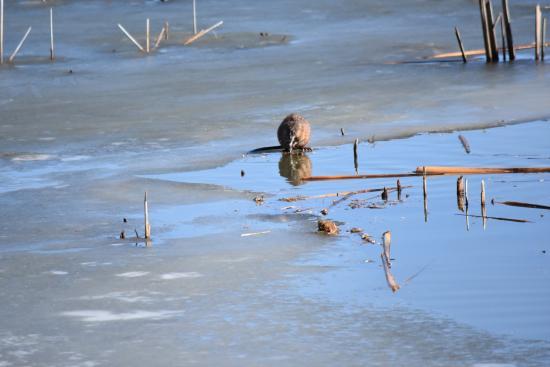 Mound City, MO: Hundreds of beavers