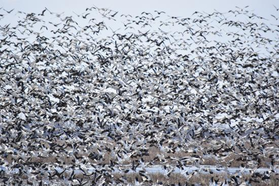 Mound City, MO: 100,000's of geese