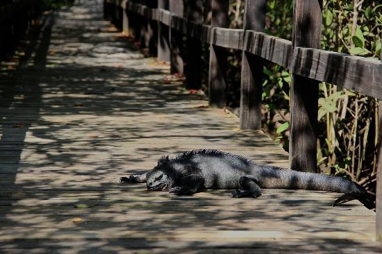 Puerto Villamil, Ecuador: Marine iguana on the way to Concha de Perla