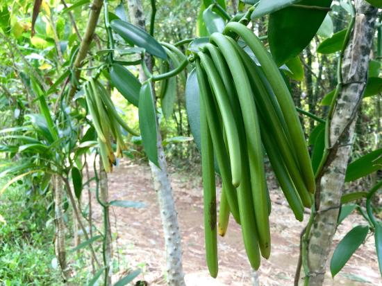 Kilauea, Χαβάη: Vanilla pods on the vine and the delicious s'mores bar