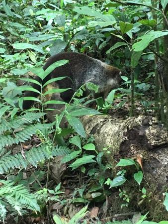 Mariposa Bed & Breakfast : coati in the garden