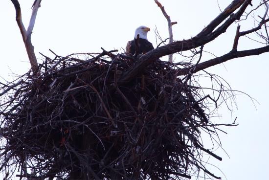 Lower Klamath National Wildlife Refuge: Bald eagles